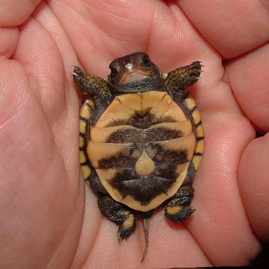 This tiny baby turtle has a rain drop as a bellybutton.