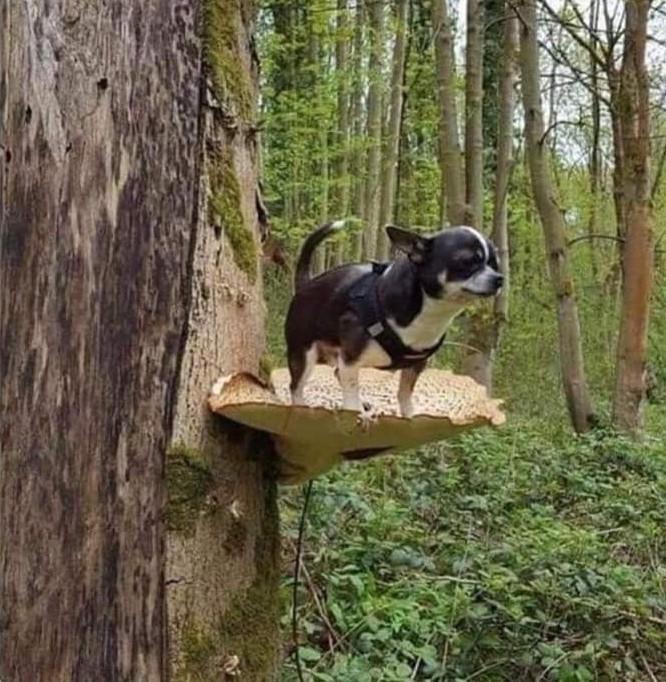 Helpless chihuahua got high on mushrooms.