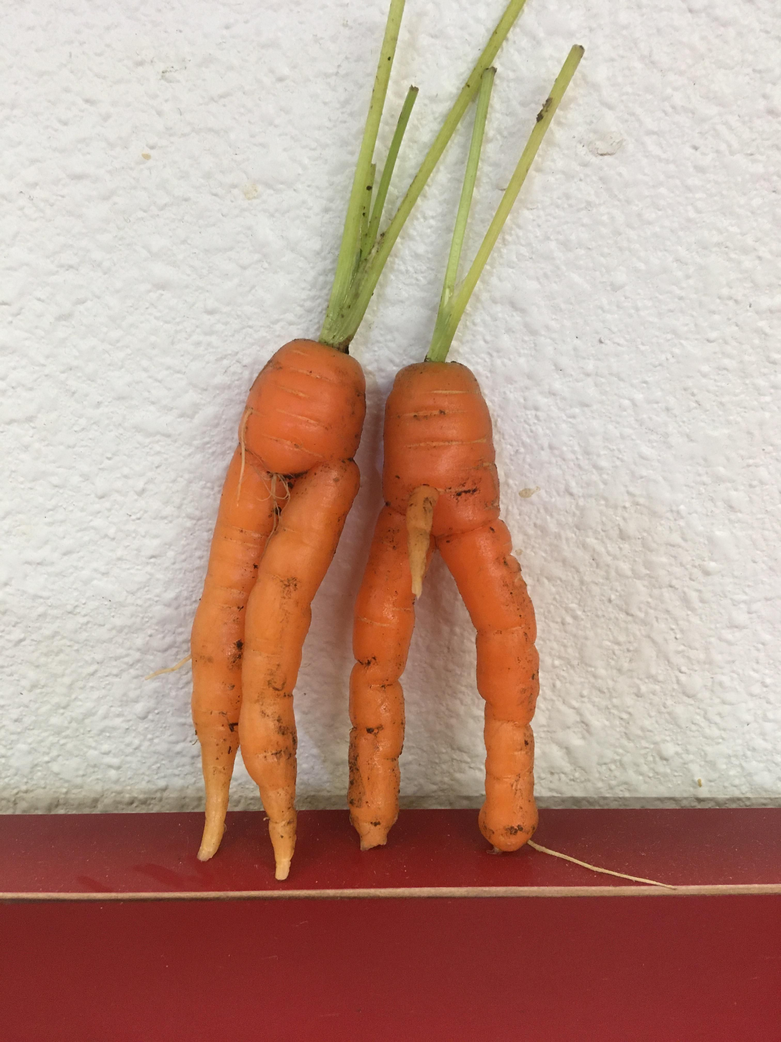"""Dad sent me this picture in a text saying, """"I think I know why we had such a great carrot crop this year."""""""