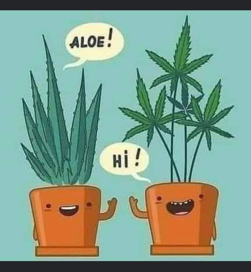 Aloe .