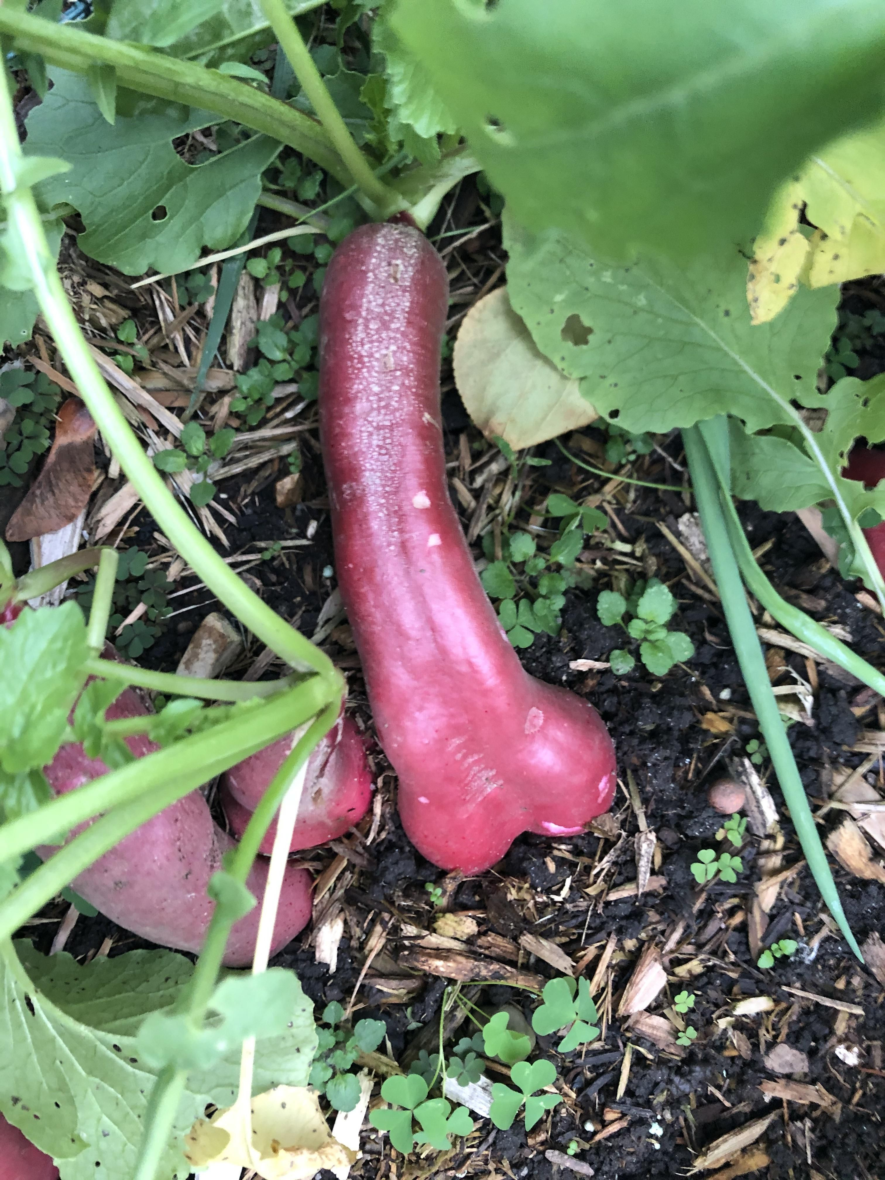 If you've ever wondered what happens if you forget to pick a radish, wonder no more. Found this in the garden today.