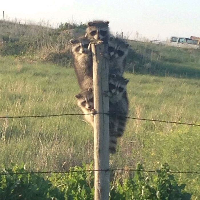 These raccoons liked my post, so you better do.