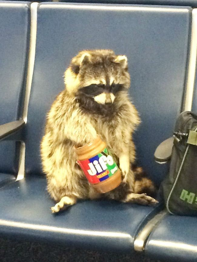 This raccoon just chillin'. Because of all the shit that has been happening, this might be one of the more normal things i have come across in 2020.