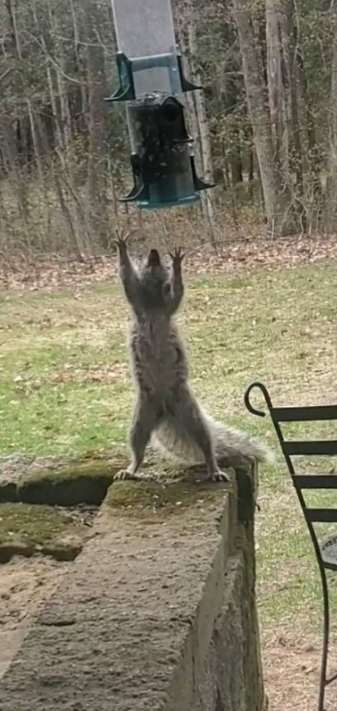I tried squirrel-proofing my bird feeder. While it didn't work for long, I got a good 20 minutes of entertainment watching them try and figure it out.