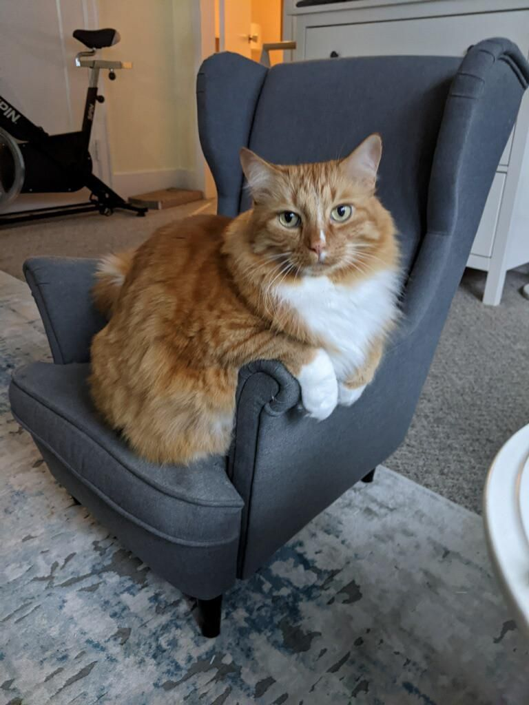 Thanks to a mini armchair for my daughter, my cat looks massive