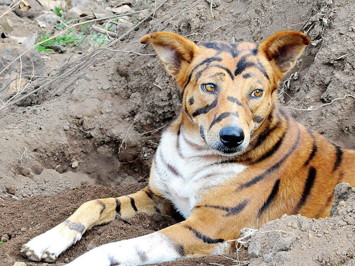 Exotic tiger for sale, if you hear it bark don't worry its bilingual