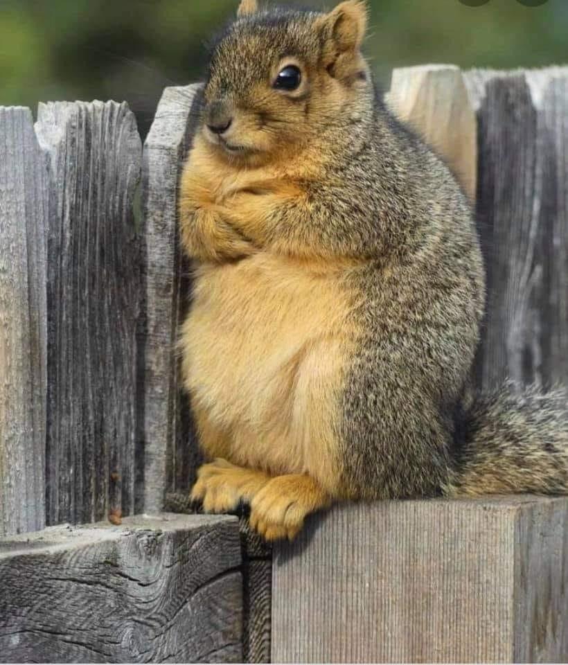 "Squirrel version of ""I am fine!"""