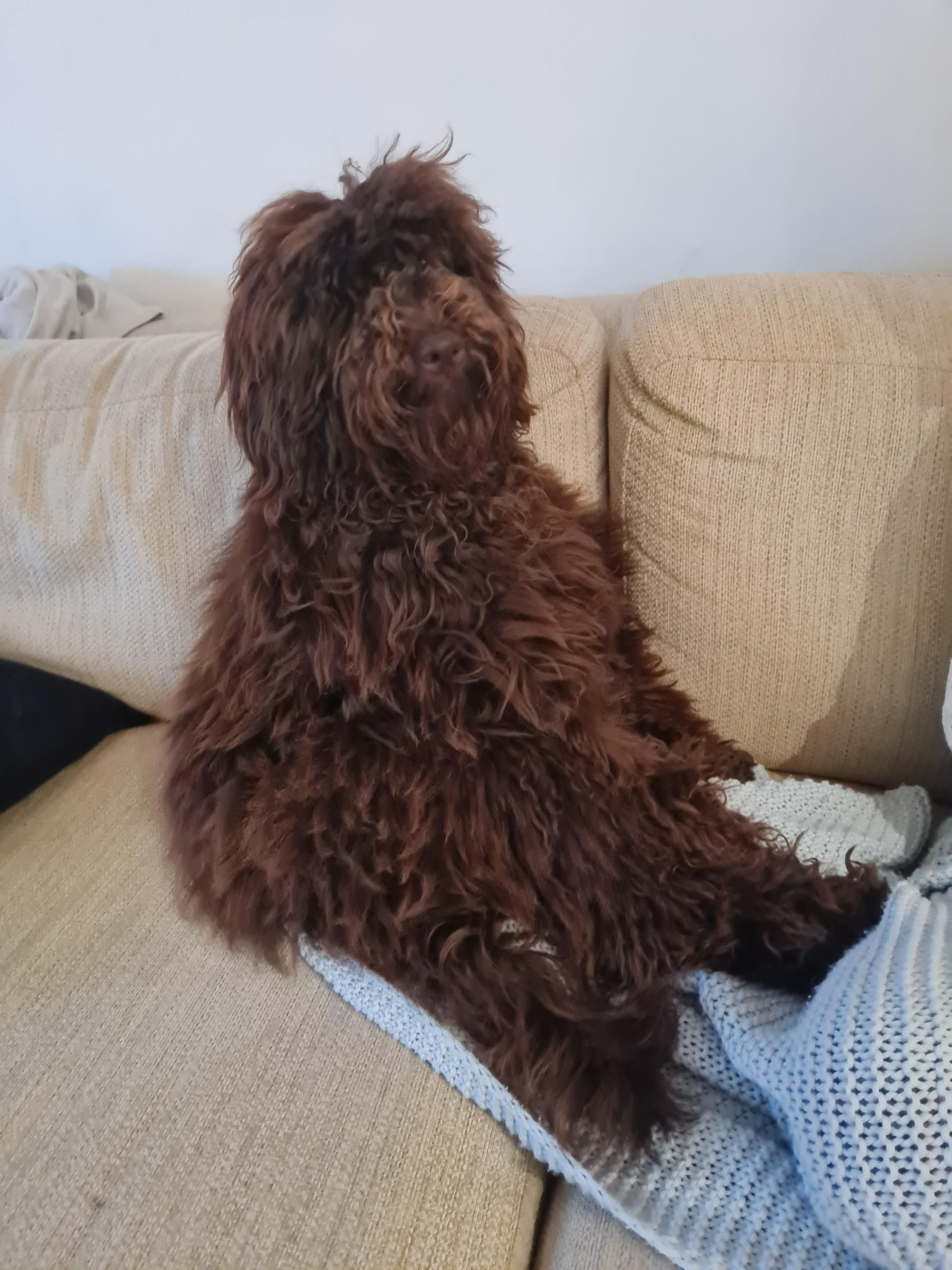 My Labradoodle looking like an overweight Alf had a child with Chewbacca.
