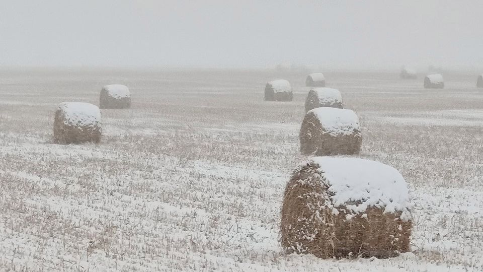 Looks like the Frosted Mega Wheats are ready for harvest