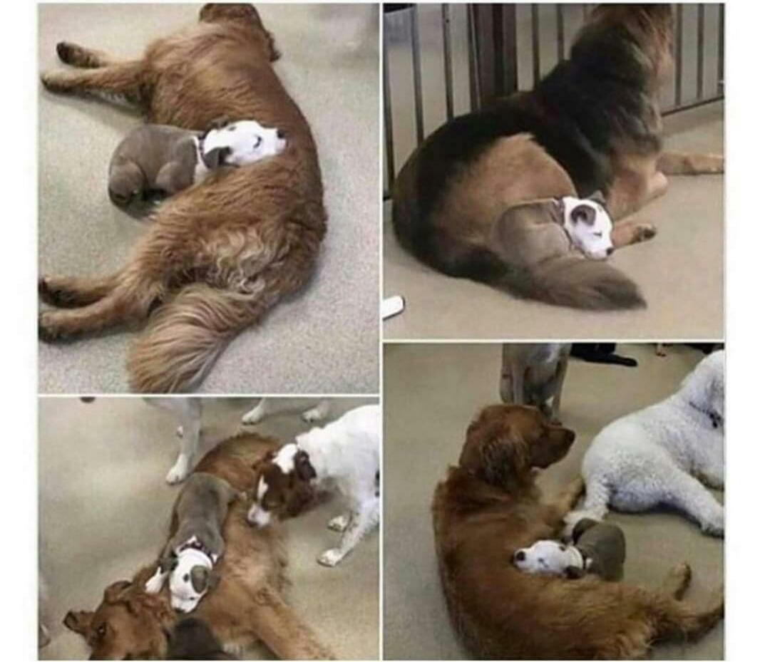 Dog finds the fluffiest dogs in daycare, so she can nap on them.