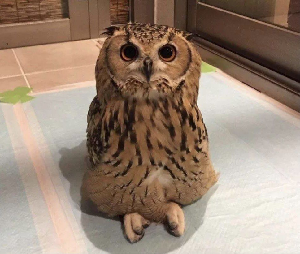 This owl sits cross legged