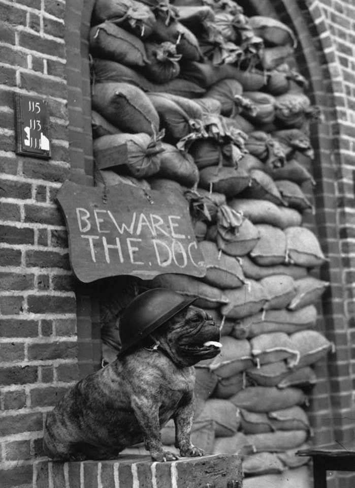 Wearing a steel helmet, a bulldog guards a London flat, circa 1940.