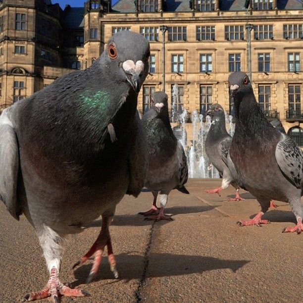 pigeon gang pigeon gang pigeon gang