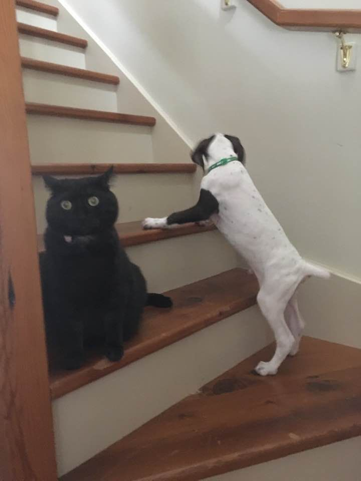 We recently got a GSP puppy. Our cat's safe space has been upstairs. Today, pup figured out how to climb the stairs. The cat is NOT happy!