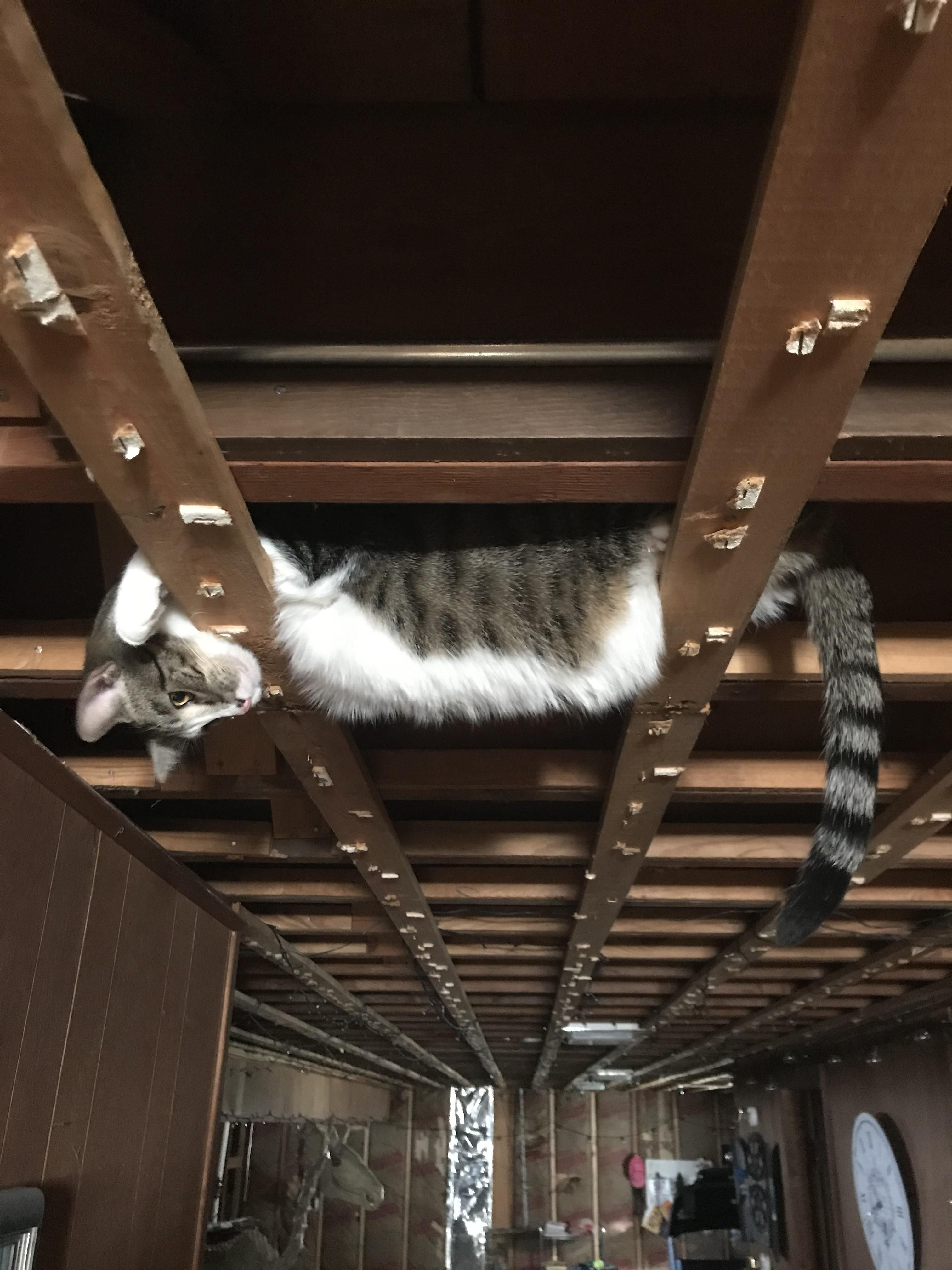I'm remodeling my basement and all the ceiling tiles were just removed. I found my cat like this.