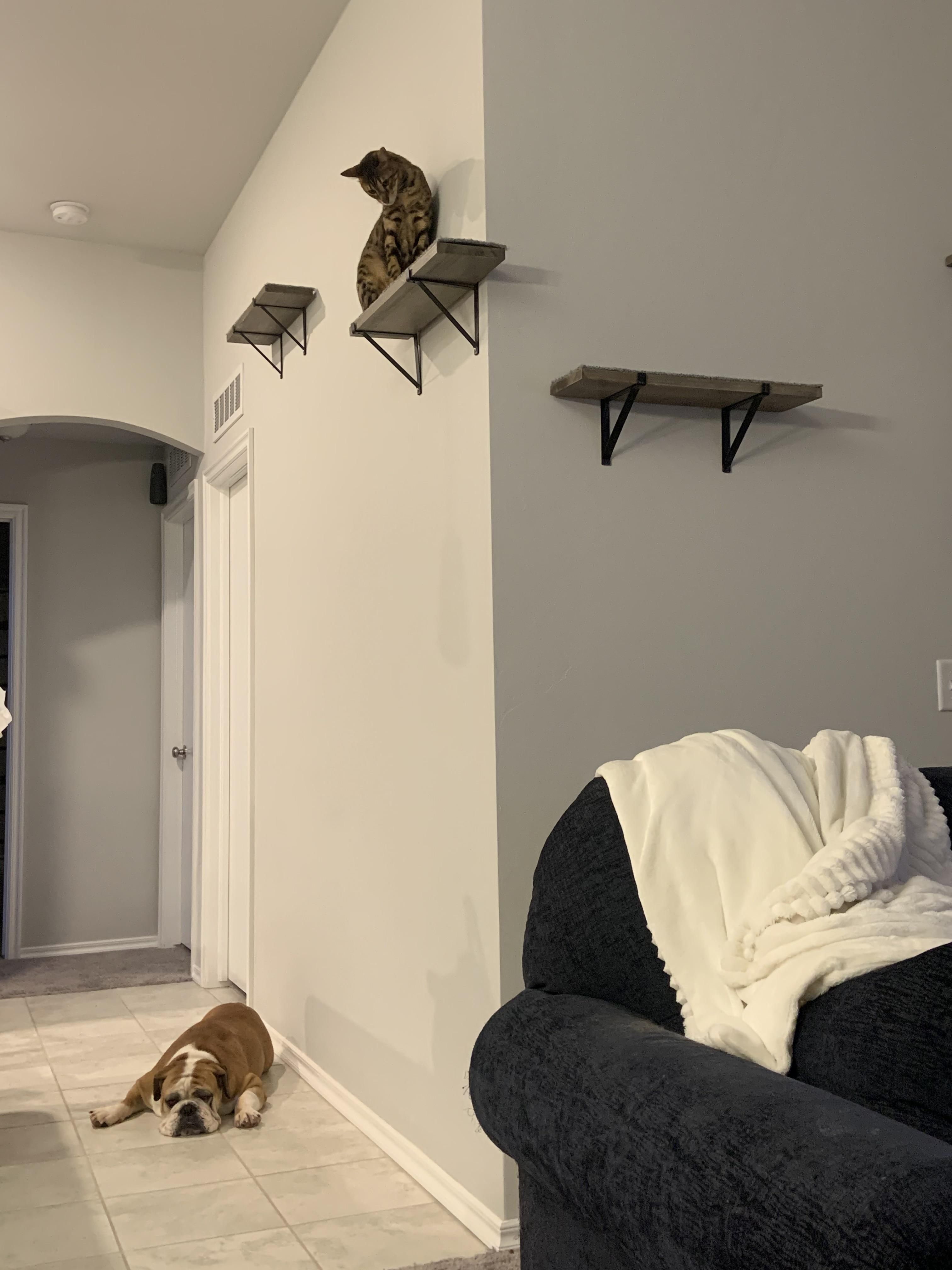 We adopted a bulldog yesterday the cat clearly was not excited about it.