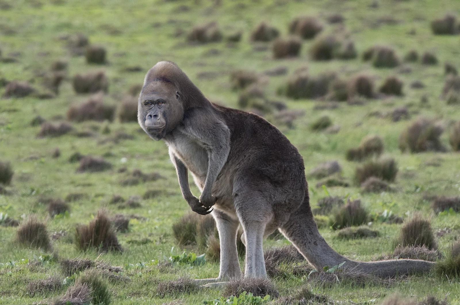 I photoshopped a gorilla and a kangaroo together