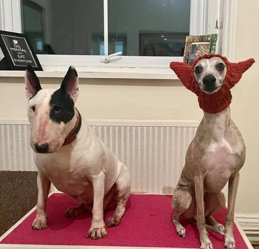 My wife knitted a hat for our bull terrier, but i think it works better on the whippet.