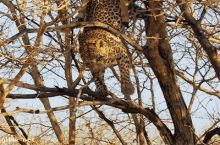 Leopards are graceful and powerful hunters. Most of the time.