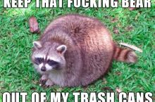 Obese raccoon doesn't like competition
