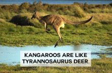 Kangaroos are like tyrannosaurus deer!