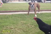 Big black cock scares a brunette bitch