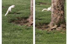 A rare white squirrel proves why they are rare. Forgets how to squirrel.