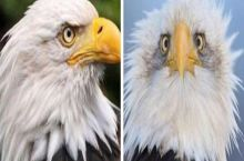 Ever wonder why the American bald eagle is always photographed from the side?